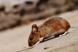 Mouse extermination, Pest Control in Barnet, High Barnet, Arkley, EN5. Call Now 020 8166 9746